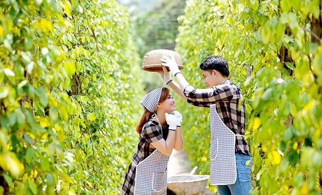 Chụp ảnh cưới vườn tiêu ở Phú Quốc